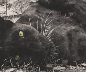 gif and panther image