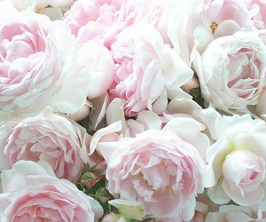 peonies and pink image