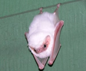 bat, albino, and white image