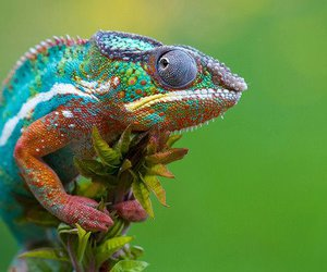 animal, chameleon, and colors image