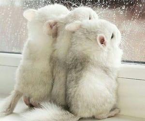 animal, cute, and Chinchilla image