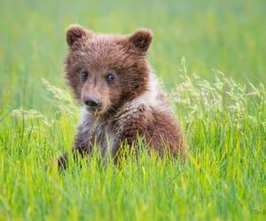 bear, meadow, and cute image