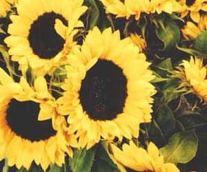 aesthetic, background, and sunflowers image