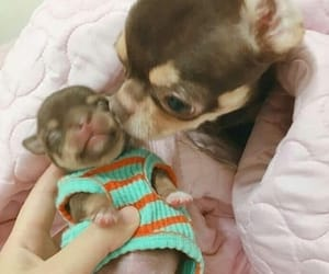 baby, chihuahua, and mom image