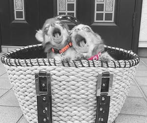 basket, chihuahua, and puppies image