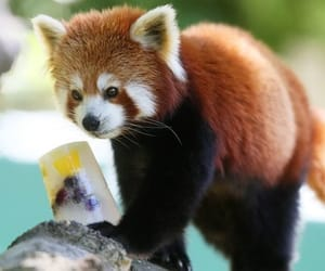 baby animals, Red panda, and summer image