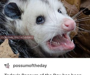 funny, possum, and quotes image