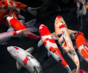 aesthetic, koi fish, and pond image