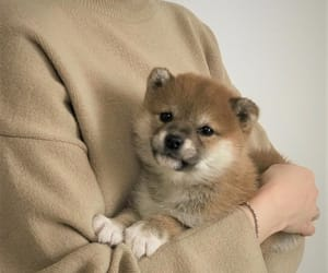 dog, beige, and puppy image