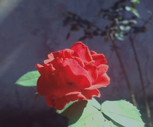 dark, flower, and rose image