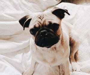 adorable, pug, and puppy image