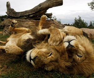lions and national geographic image