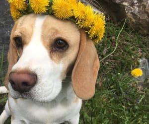 beagle, crown, and dog image