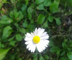 daisy, flower, and hungary image