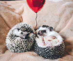 hedgehog and adorable image