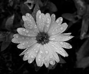 blak and white, flower, and rain image