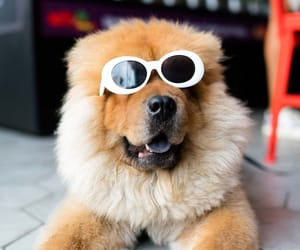 adorable, chow chow, and funny image