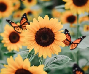 bee, butterflies, and butterfly image