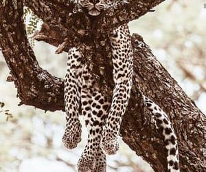 Animales, leopardo, and cat image