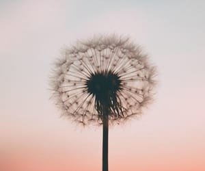 wallpaper, dandelion, and background image