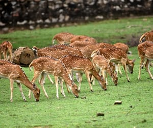fallow deer, guwahati., and busy grazing image