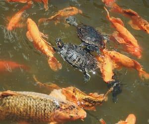 animals, koi fish, and turtles image