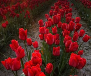 nature, rosses, and red image