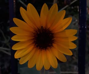 amarillo, atardecer, and flor image