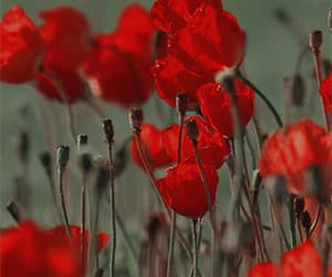 gif, flowers, and poppies image
