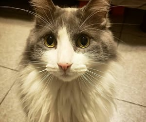Animales, cat, and vegan image