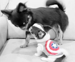 america, captain, and chihuahua image
