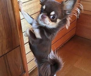 chihuahua, hair, and haired image