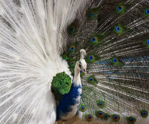 peacock, animal, and bird image