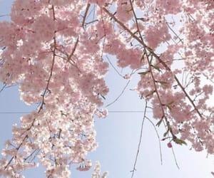 sakura, cherry blossom, and flowers image