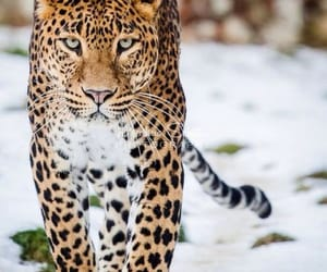 animal, leopard, and snow image