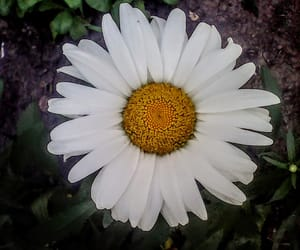 camomile, flower, and nature image
