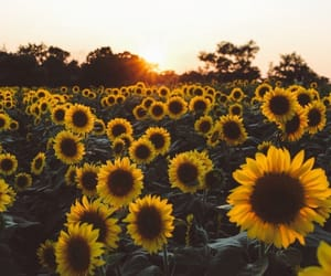 hipster, photo, and sunflower image
