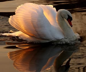 Swan, nature, and bird image