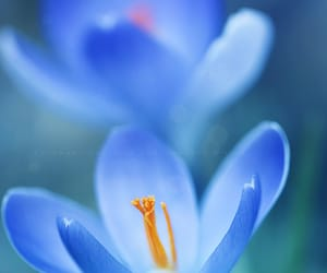 blue, crocus, and flowers image
