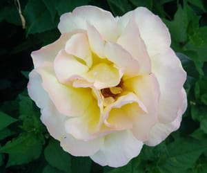 rose, white, and flower image
