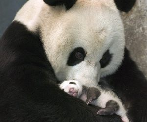 mother, panda, and cute image