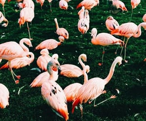 pink and flamencos image