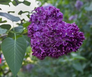 purple lilacs, scents, and fragrant image