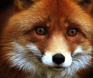 ❤ and it is so cute this fox !! image