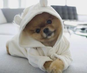 dog, dogs, and pomeranian image