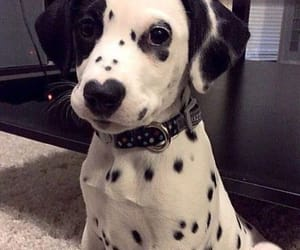 black and white, cutie, and dalmatian image