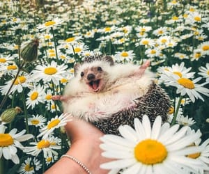adorable, daisies, and flowers image