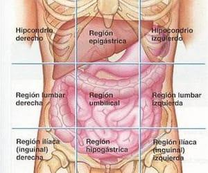 abdomen, anatomy, and regiones image