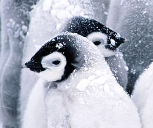 cold, penguin, and snow image