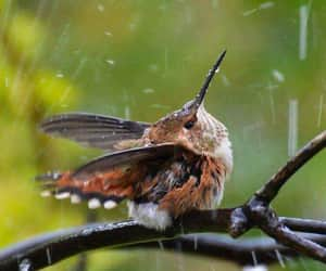 hummingbird, rain, and birb image
